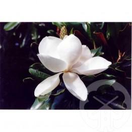 MAGNOLIA Grandiflora Purpan®