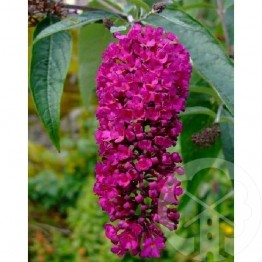 BUDDLEJA Royal Red (rouge)