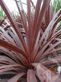 CORDYLINE Red Star (brun pourpré)