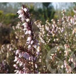 ERICA mediterranea (rose lilas)
