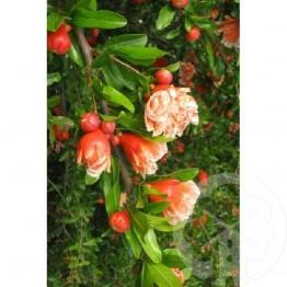 PUNICA Granatum Legrellei