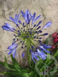 AGAPANTHUS africanus (bleu persistant)