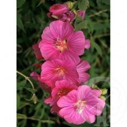 LAVATERA Bredon springs (rose)