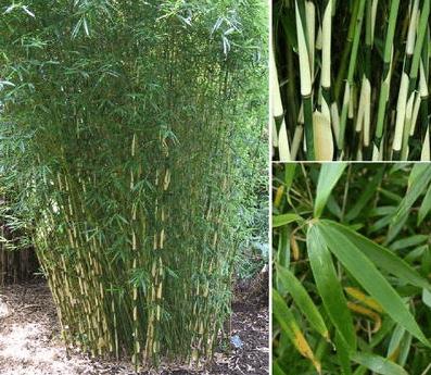 Bambous … pas si zen que ça !