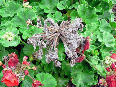 Feutrage gris sur une ou plusieurs parties de la plante
