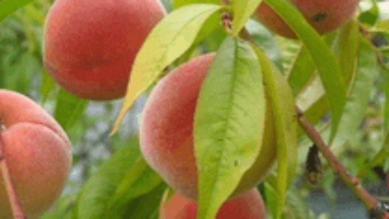 Arbre Fruitier D Intérieur la taille des fruitiers : les grands principes > pépinières