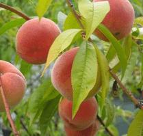 La taille des fruitiers, des abricots bien mûres