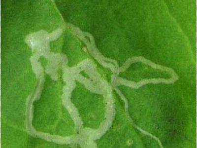 Longues traces blanches sur les feuilles