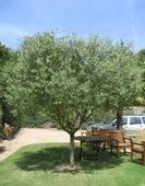 Vidéo : comment tailler mon olivier ?