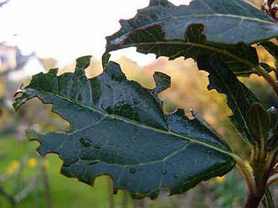Traces de morsures sur les feuilles