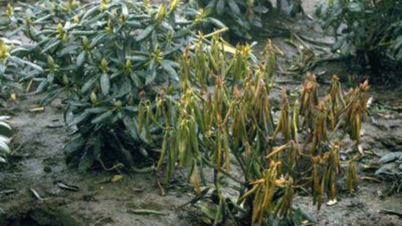 Comment Sauver Un Oranger Du Mexique feuilles devenant jaune-marron et se dessèchant > pépinières