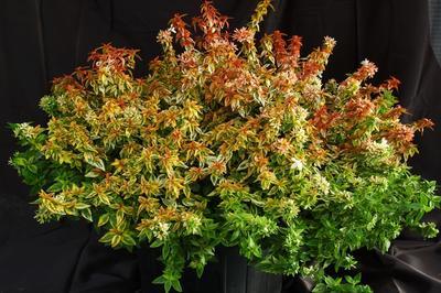 Labélia Ou Abélie Arbuste Semi Persistant à La Floraison Estivale