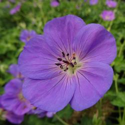 Le geranium vivace, pour toutes les surfaces