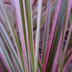 Les Pennisetums, graminées aux couleurs flamboyantes