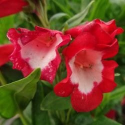Le Penstemon, une floraison bicolore et étonnante