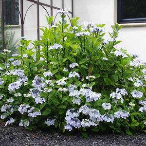 Les Hortensias Hydrangea Une Diversite Insoupconnee