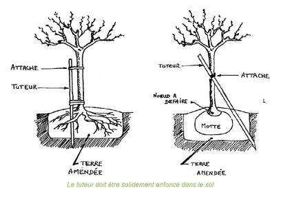 Comment planter vos arbres et arbustes ?