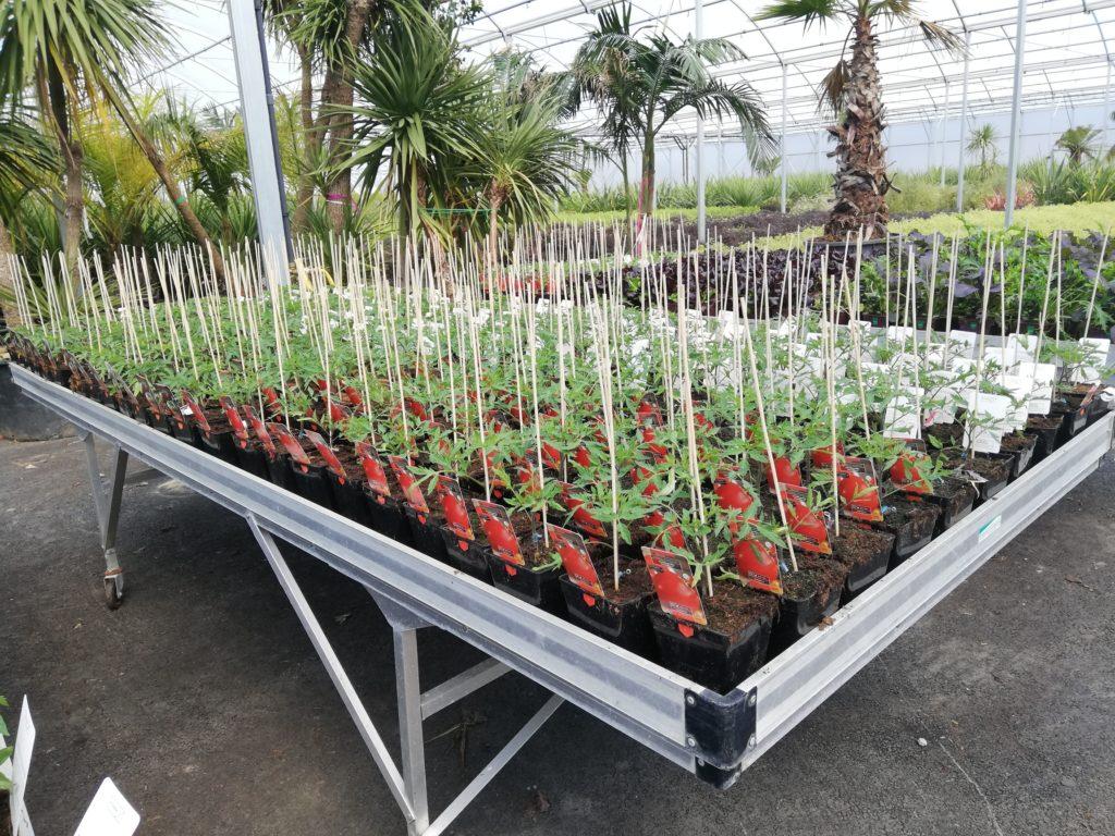 Photos des plants de tomates