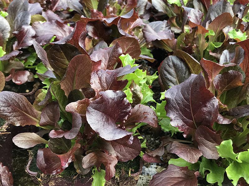 Photos des plants de salades