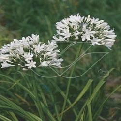 Agapanthus africanus albus (fleur blanche) à offrir pour la fête des mères.
