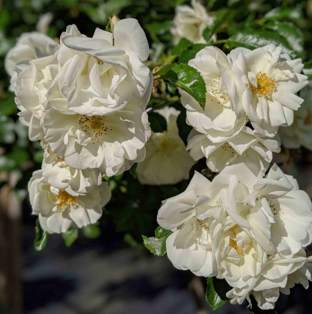 Decorosier opalia bouquet de roses blanches sur son rosier à offrir pour la fête des mères.