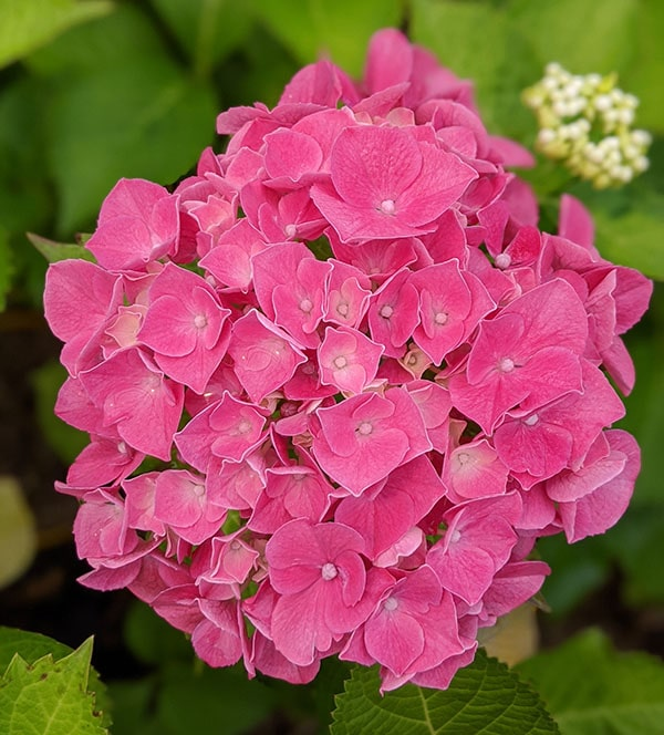 Hydrangea macrophylla masja de couleur rose vif à offrir pour la fête des mères.