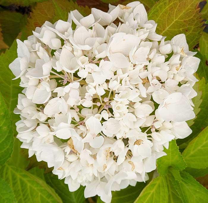 Hydrangea (hortensias) macrophylla Soeur Therese de couleur blanche à offrir pour la fête des mères.