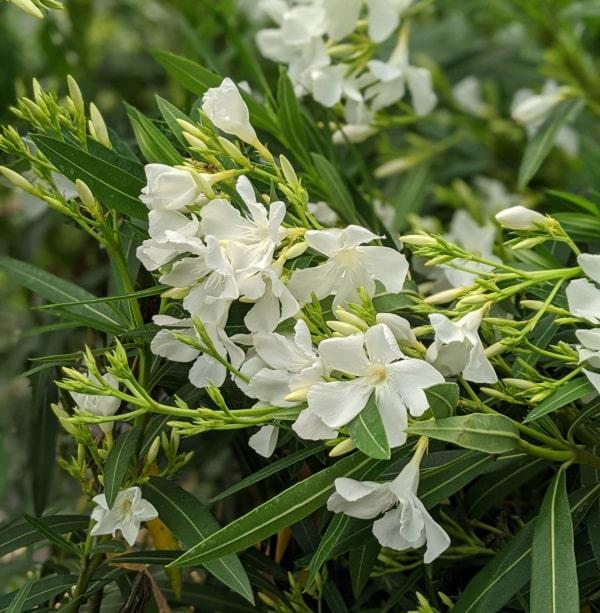 Fleurs de nerium oleandeur blanc, avec un feuillage en bâton élégant. C'est un beau cadeau pour la fête des mères.