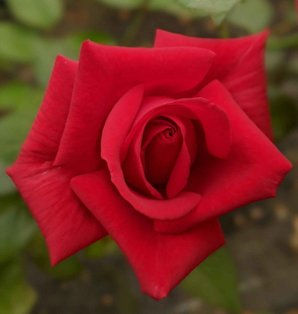 Rose le grand huit à offrir pour la fête des mères.