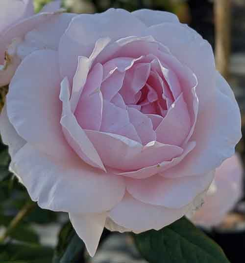 Rose pierre de ronsard à offrir pour la fête des mères.
