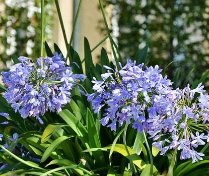 Agapanthus africanus (fleur bleu) à offrir pour la fête des mères.