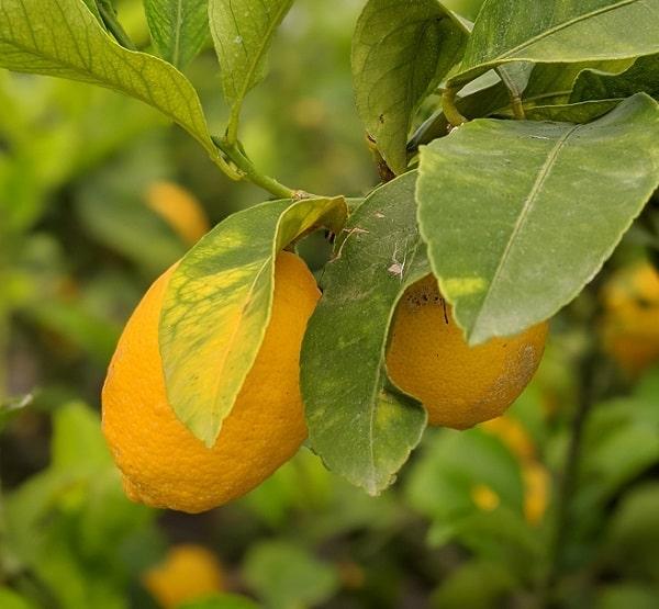 Citrons dans un citronnier à offrir pour la fête des mères.