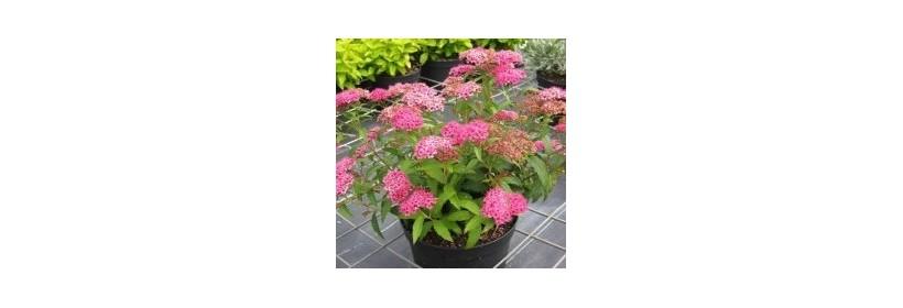Choisir son arbuste à floraison estivale
