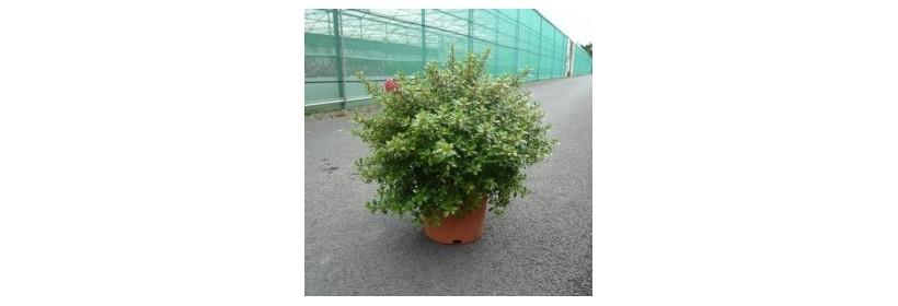 Choisir son arbuste à petit développement