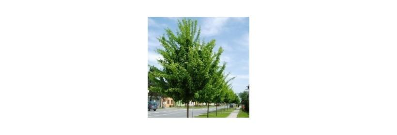 Les arbres à moyen développement