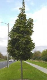 Les arbres d'alignement de forme fastigiée