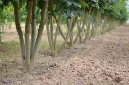 Chantier de paysage : opter pour des arbres en cépée
