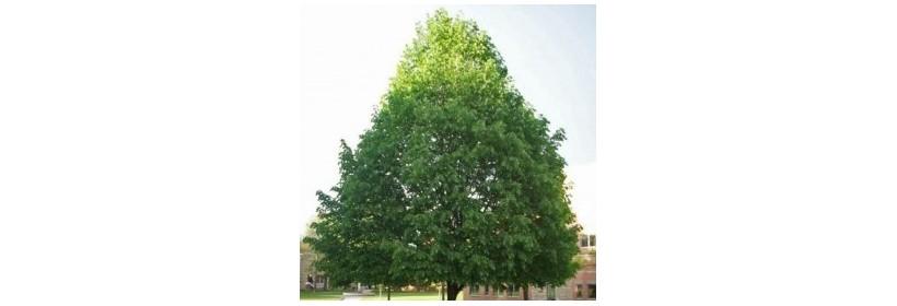 Les arbres à grand développement