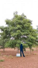 Les arbres d'alignement de forme étalée