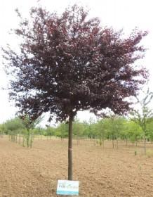 Les arbres d'alignement à petit développement