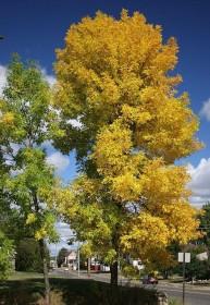 Les arbres d'alignement à grand développement