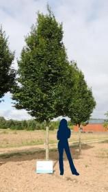 Les arbres d'alignement de forme élancée