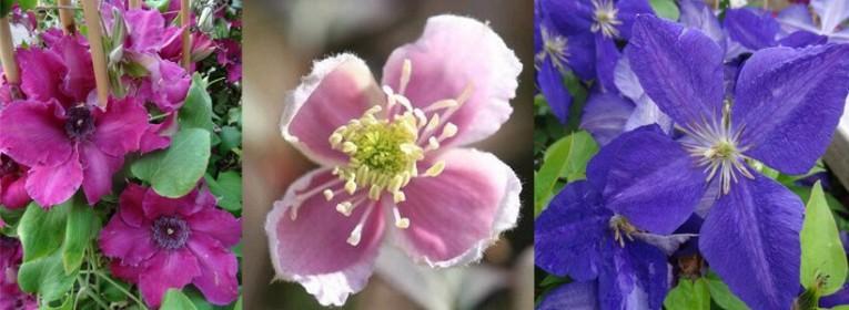 Les plantes grimpantes fleurie