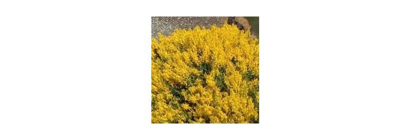 Choisir son arbuste à floraison printanière