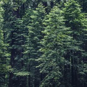 Les conifères sont des arbres de valeurs sûres