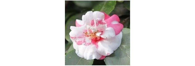 Choisir son arbuste à floraison automnale