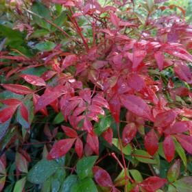 Choisir son arbuste à floraison hivernale