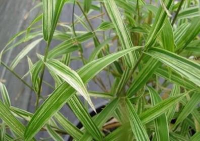 bambou traçant