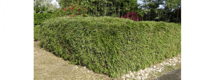 Les conseils pour aménager votre jardin avec une haie japonisante