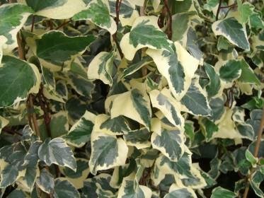 Les plantes grimpantes persistantes